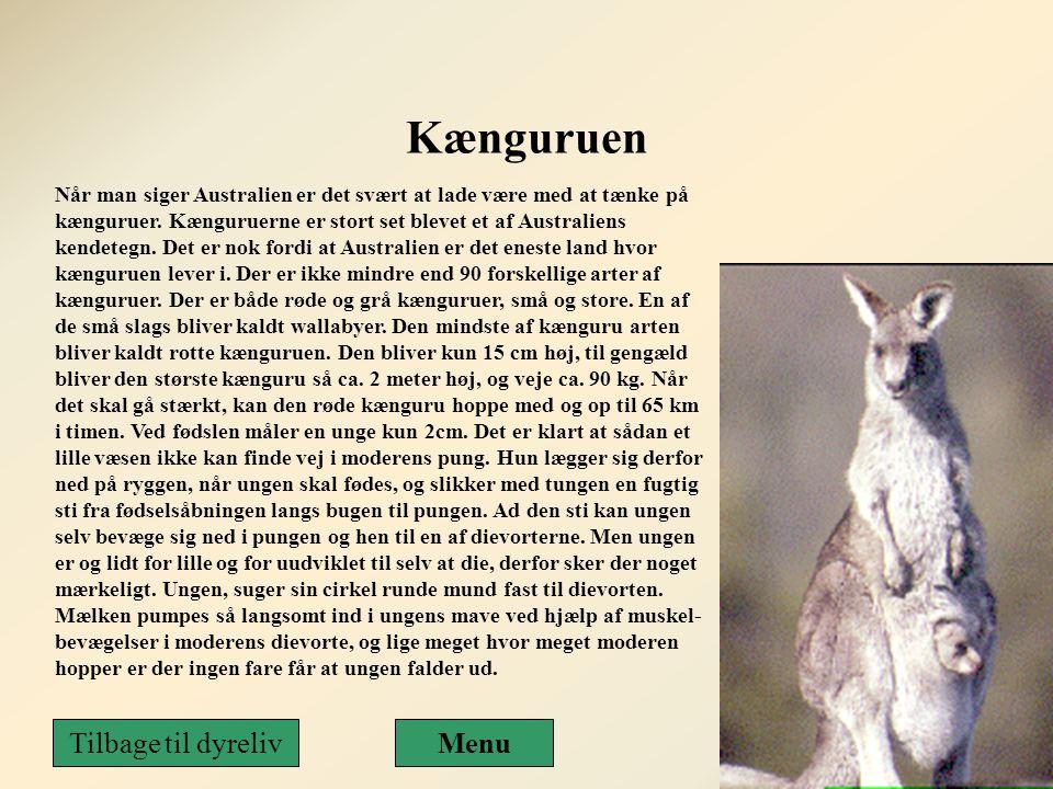 Kænguruen Tilbage til dyreliv Menu