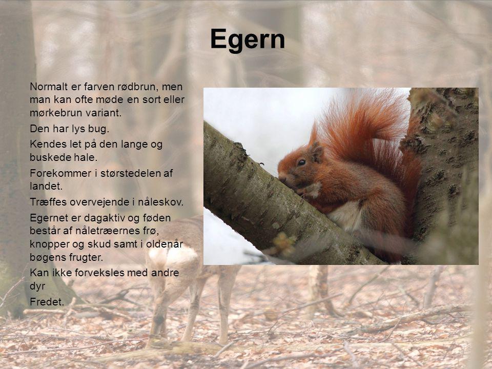 Egern Normalt er farven rødbrun, men man kan ofte møde en sort eller mørkebrun variant. Den har lys bug.