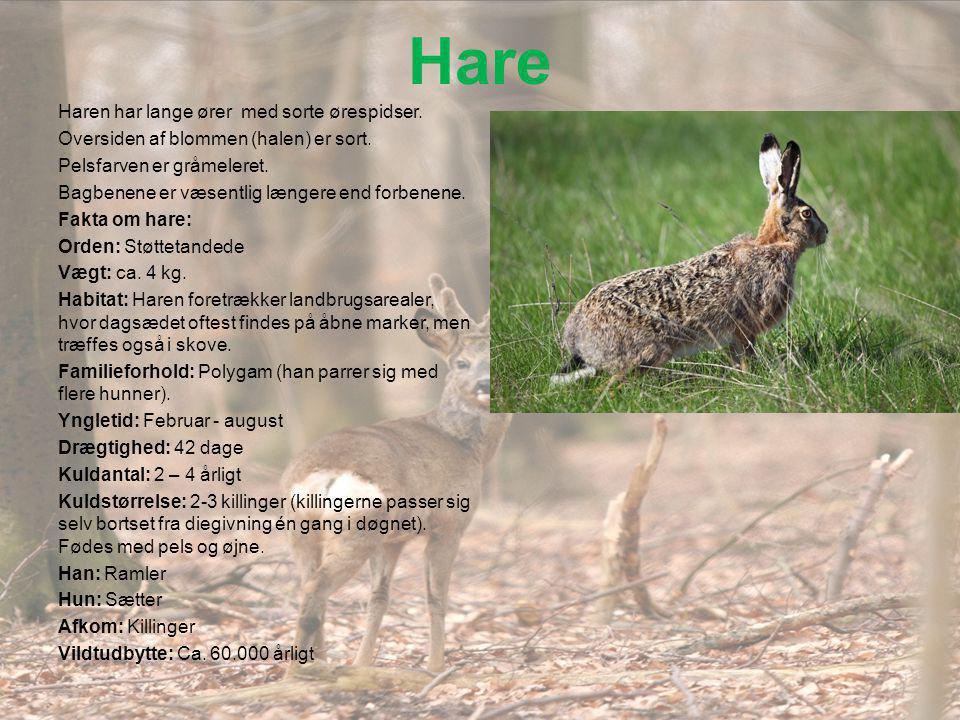 Hare Haren har lange ører med sorte ørespidser.