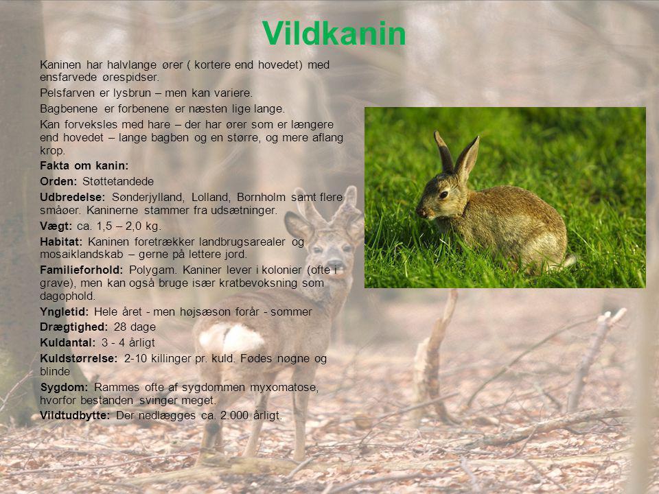 Vildkanin Kaninen har halvlange ører ( kortere end hovedet) med ensfarvede ørespidser. Pelsfarven er lysbrun – men kan variere.