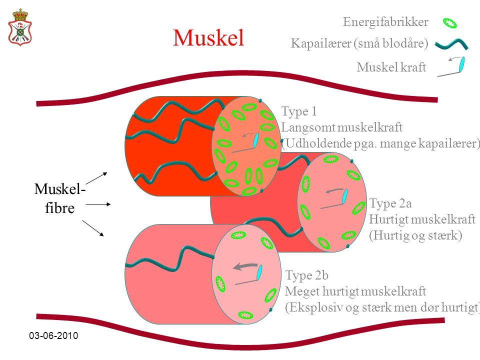 Muskel Muskel- fibre Energifabrikker Kapailærer (små blodåre)