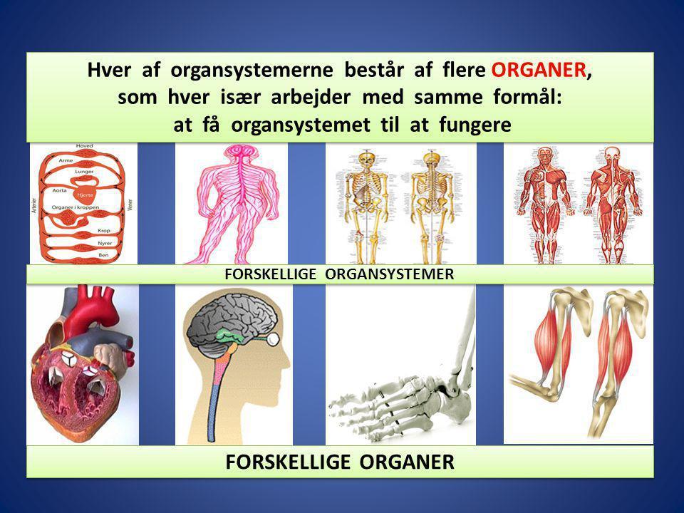 Hver af organsystemerne består af flere ORGANER,