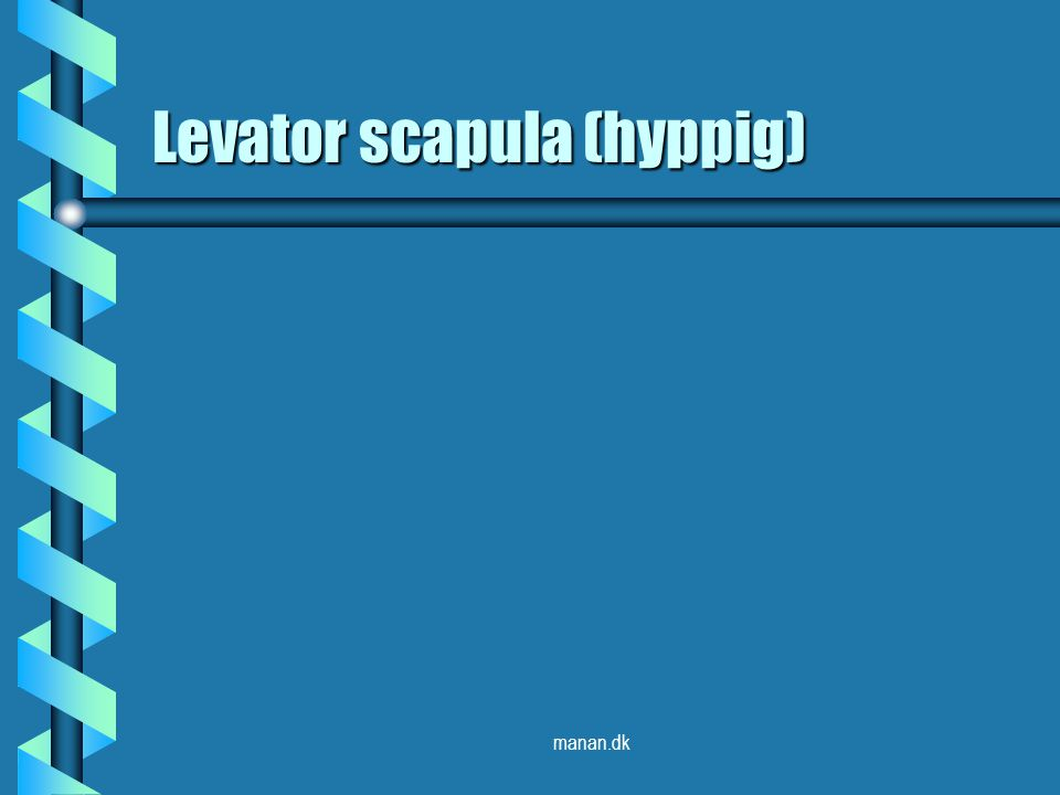 Levator scapula (hyppig)