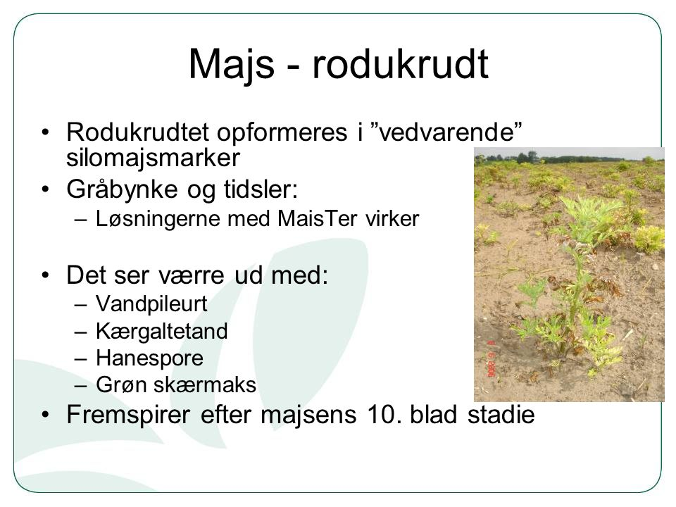Majs - rodukrudt Rodukrudtet opformeres i vedvarende silomajsmarker