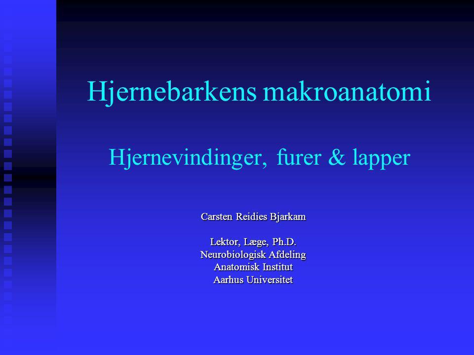 Hjernebarkens makroanatomi Hjernevindinger, furer & lapper