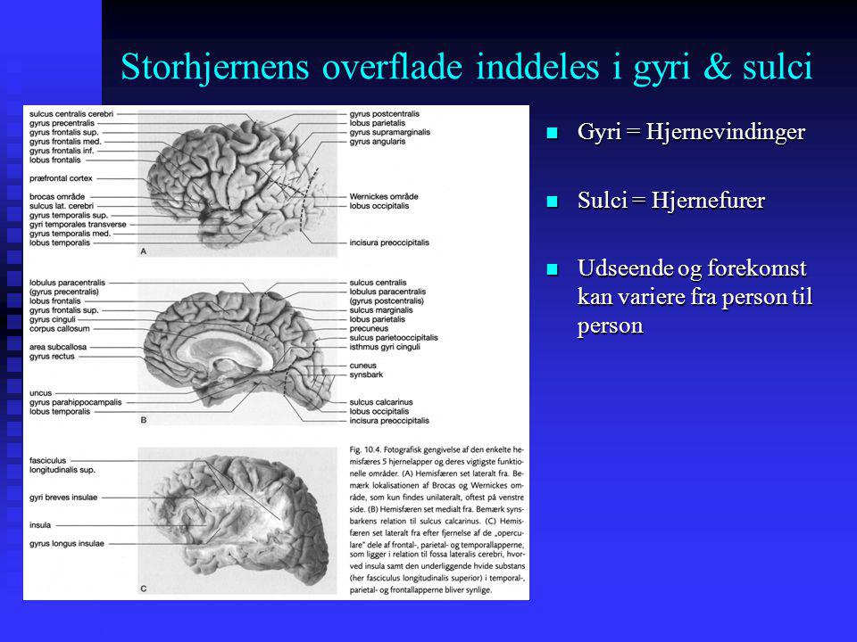 Storhjernens overflade inddeles i gyri & sulci