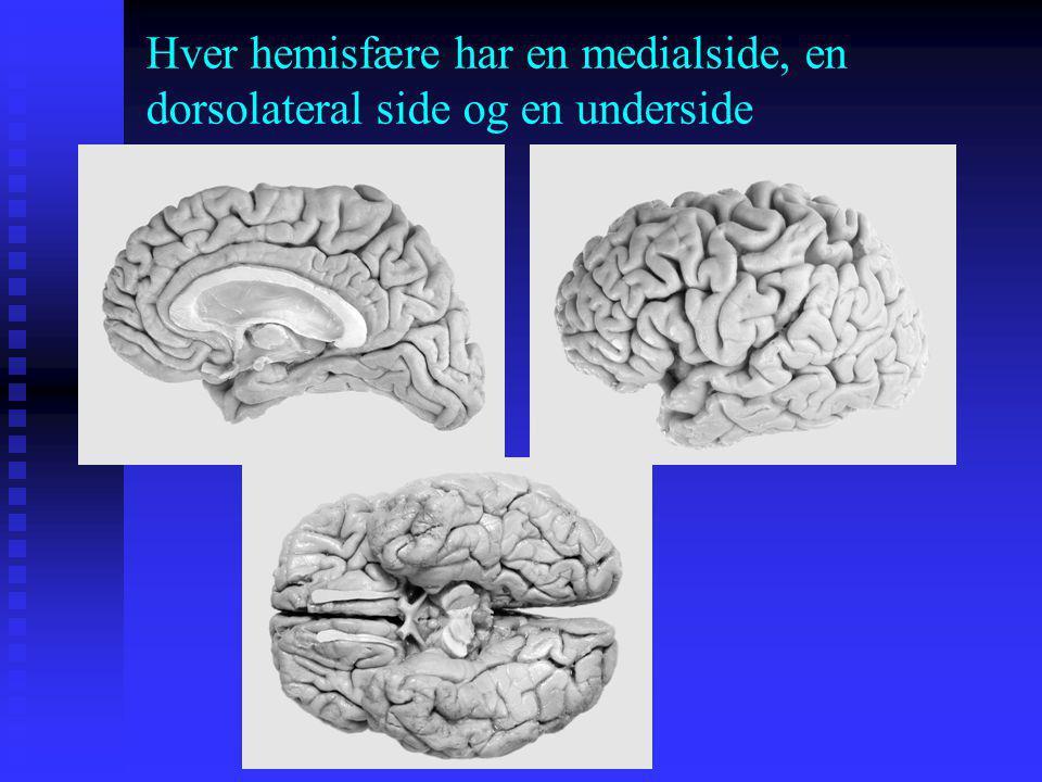 Hver hemisfære har en medialside, en dorsolateral side og en underside