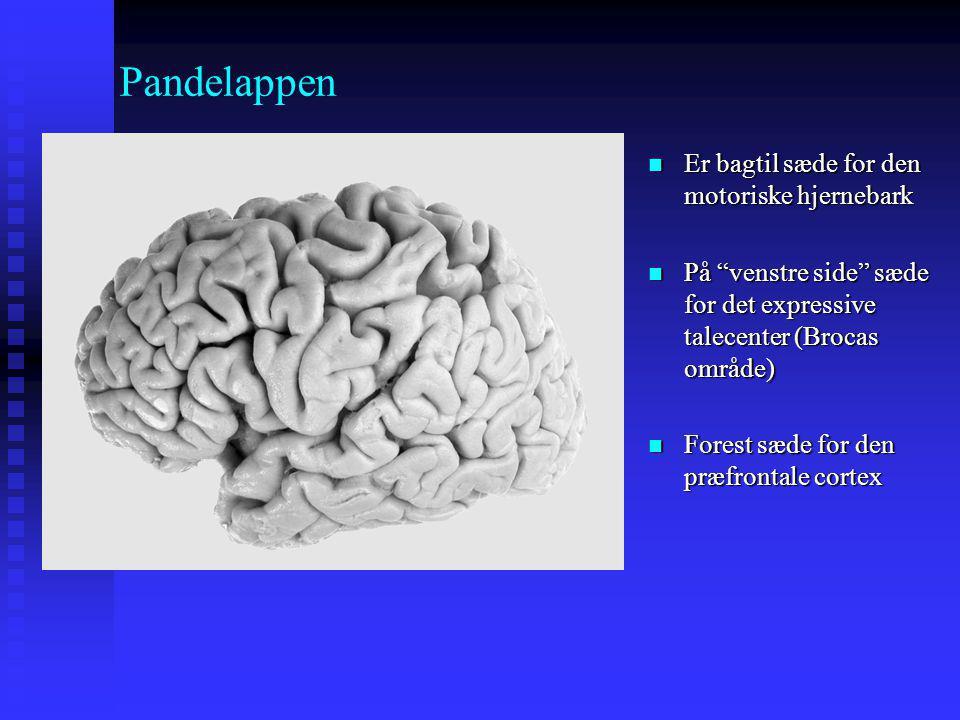 Pandelappen Er bagtil sæde for den motoriske hjernebark