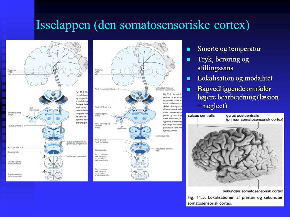 Isselappen (den somatosensoriske cortex)