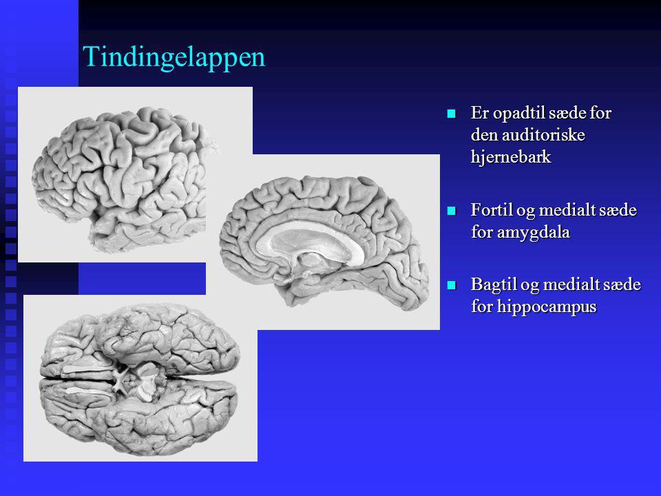 Tindingelappen Er opadtil sæde for den auditoriske hjernebark