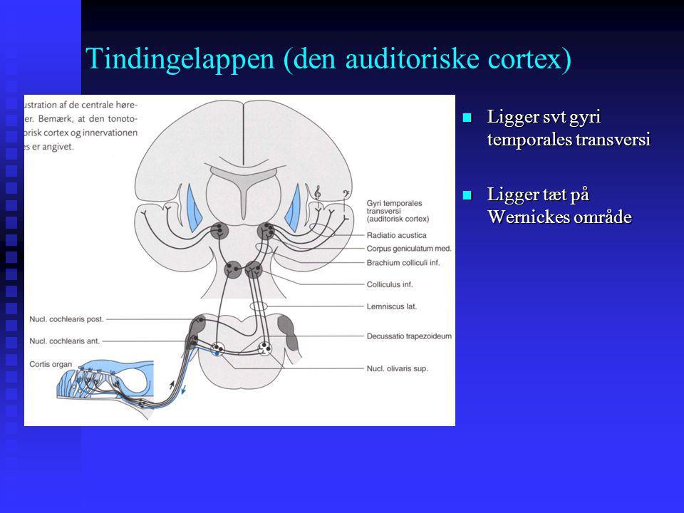 Tindingelappen (den auditoriske cortex)