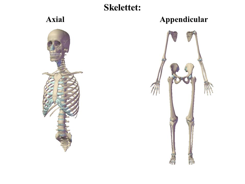 Skelettet: Axial Appendicular