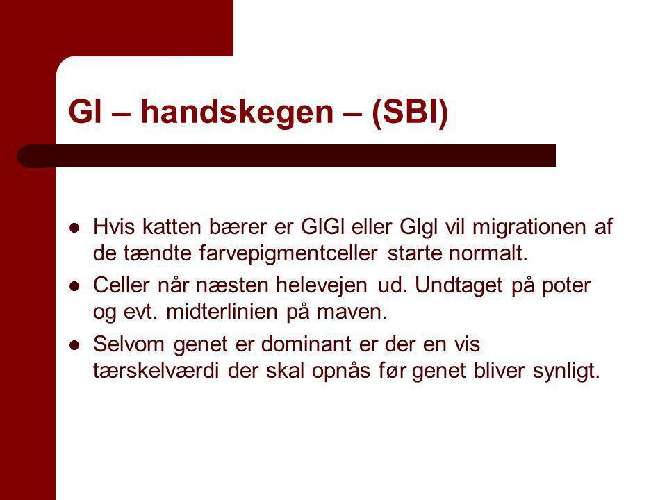 Gl – handskegen – (SBI) Hvis katten bærer er GlGl eller Glgl vil migrationen af de tændte farvepigmentceller starte normalt.