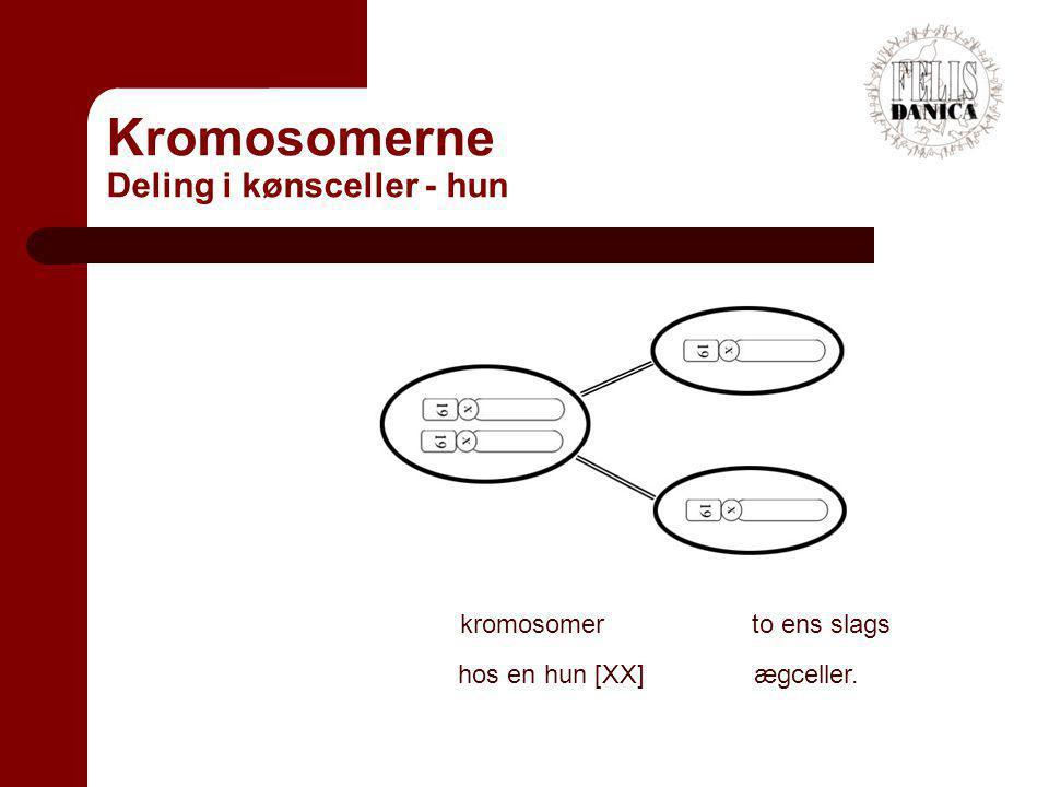 Kromosomerne Deling i kønsceller - hun