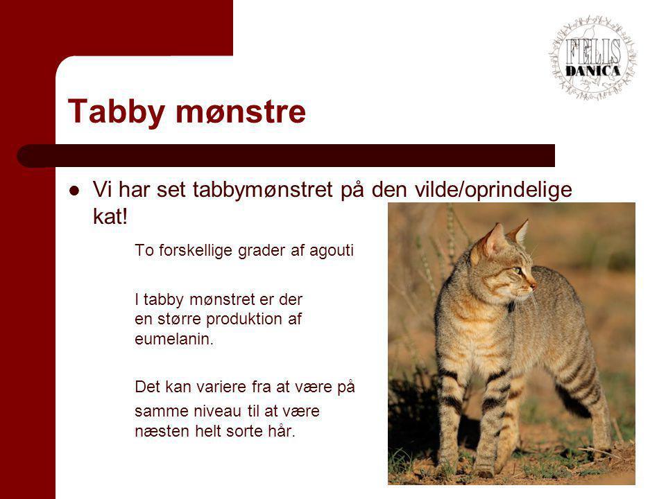 Tabby mønstre Vi har set tabbymønstret på den vilde/oprindelige kat!