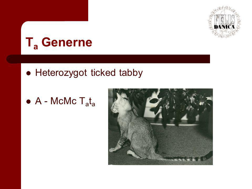 Ta Generne Heterozygot ticked tabby A - McMc Tata