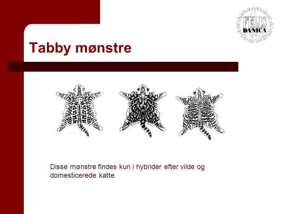 Tabby mønstre Disse mønstre findes kun i hybrider efter vilde og domesticerede katte.