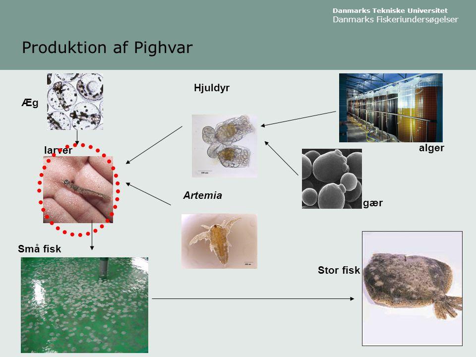Produktion af Pighvar Hjuldyr Æg alger larver Artemia gær Små fisk