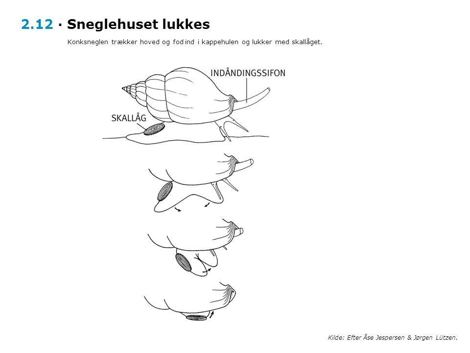 2.12 · Sneglehuset lukkes Konksneglen trækker hoved og fod ind i kappehulen og lukker med skallåget.