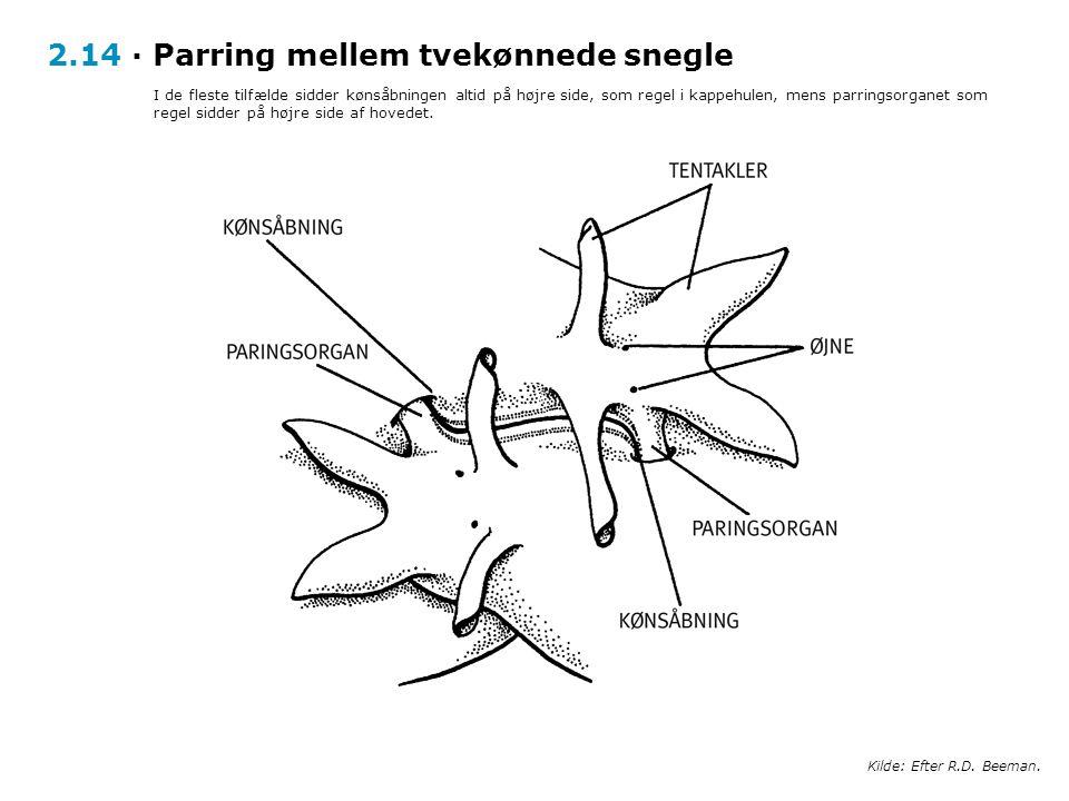 2.14 · Parring mellem tvekønnede snegle
