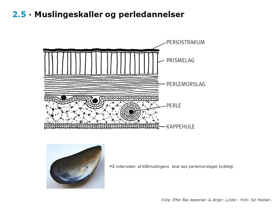 2.5 · Muslingeskaller og perledannelser