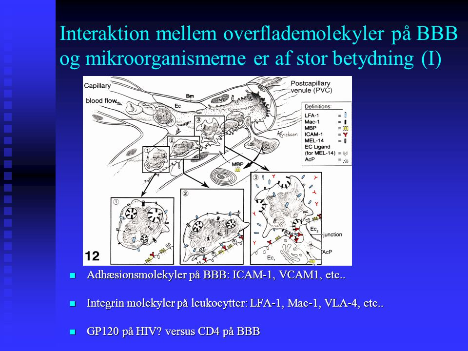 Interaktion mellem overflademolekyler på BBB og mikroorganismerne er af stor betydning (I)