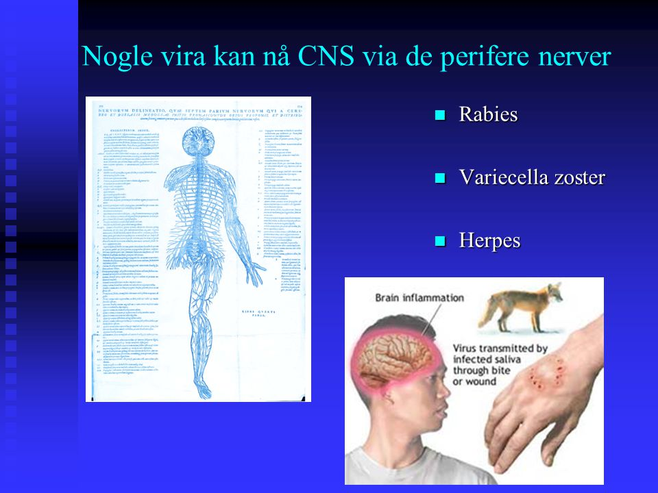 Nogle vira kan nå CNS via de perifere nerver