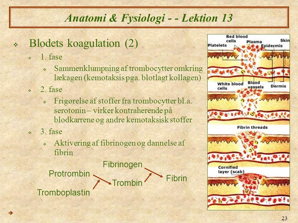Anatomi & Fysiologi - - Lektion 13