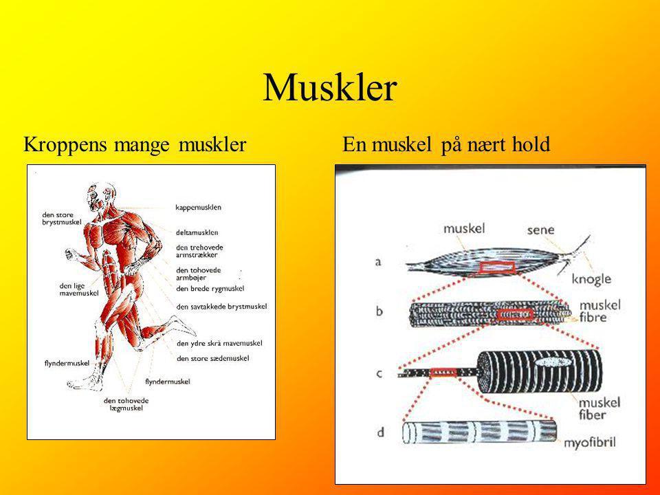 Muskler Kroppens mange muskler En muskel på nært hold