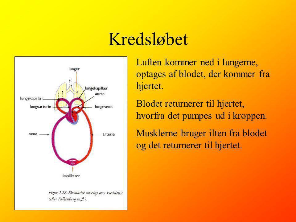Kredsløbet Luften kommer ned i lungerne, optages af blodet, der kommer fra hjertet. Blodet returnerer til hjertet, hvorfra det pumpes ud i kroppen.