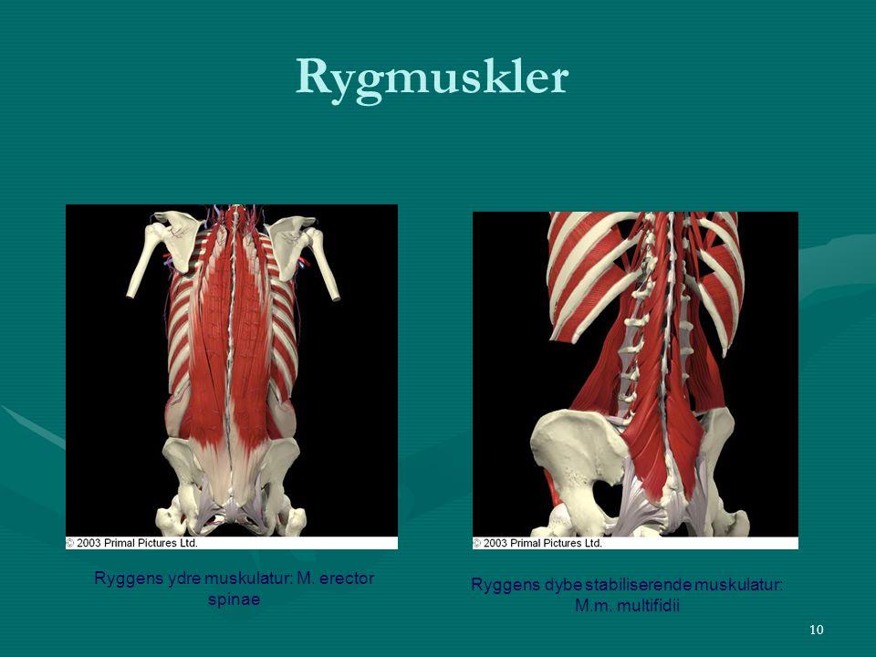 Rygmuskler Ryggens ydre muskulatur: M. erector spinae