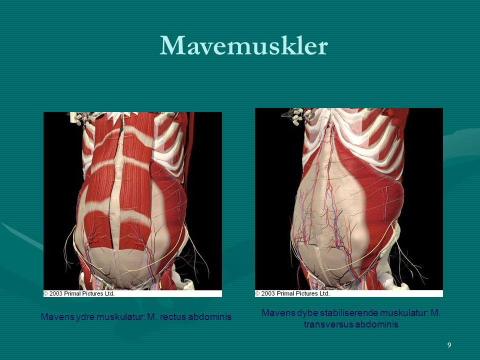 Mavens dybe stabiliserende muskulatur: M. transversus abdominis