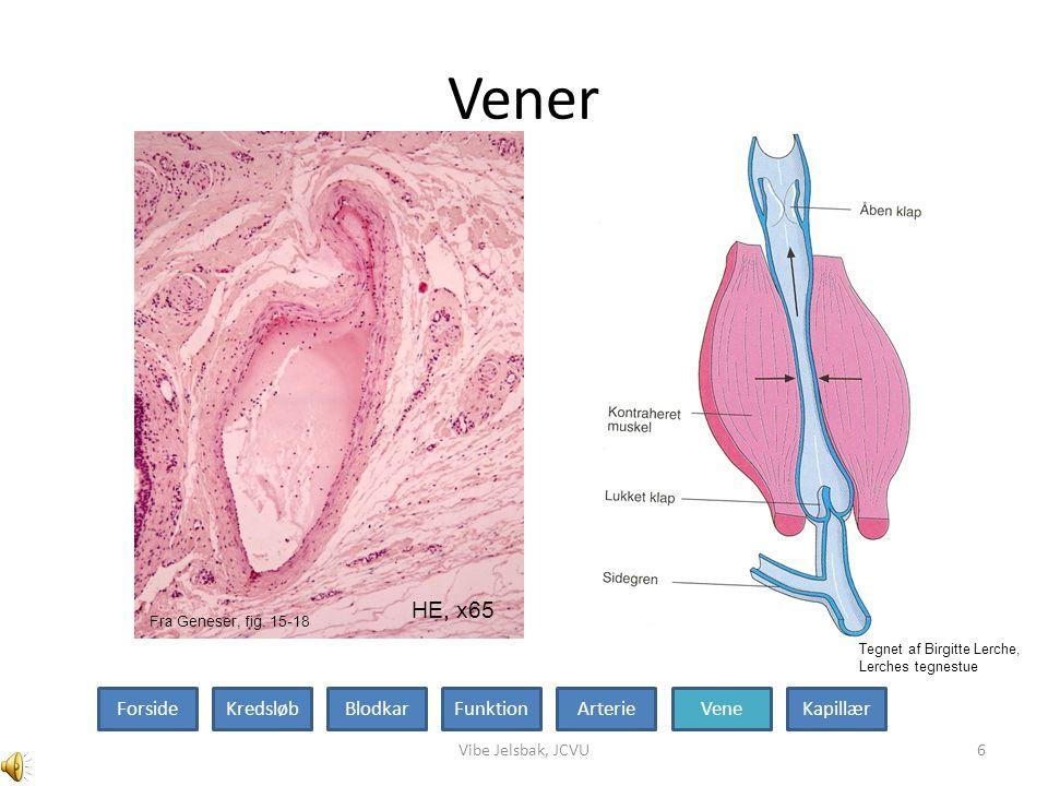 Vener Fig 15-20 HE, x65 Forside Kredsløb Blodkar Funktion Arterie Vene