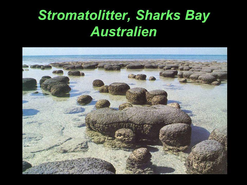 Stromatolitter, Sharks Bay Australien