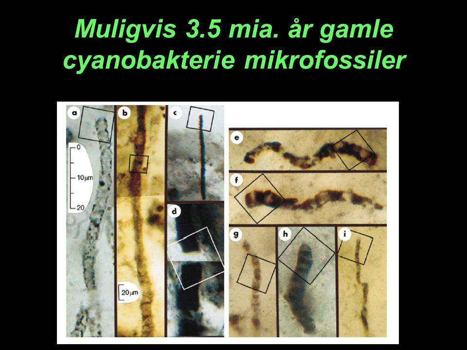 Muligvis 3.5 mia. år gamle cyanobakterie mikrofossiler