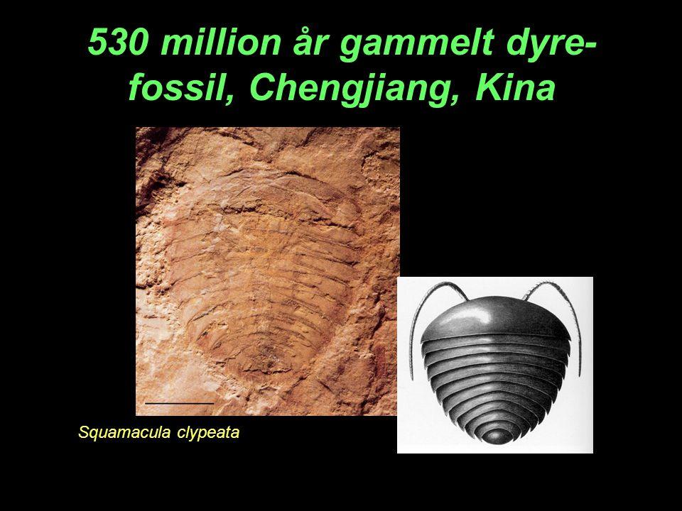 530 million år gammelt dyre-fossil, Chengjiang, Kina