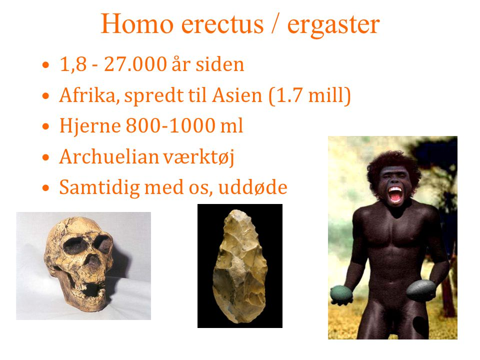 Homo erectus / ergaster