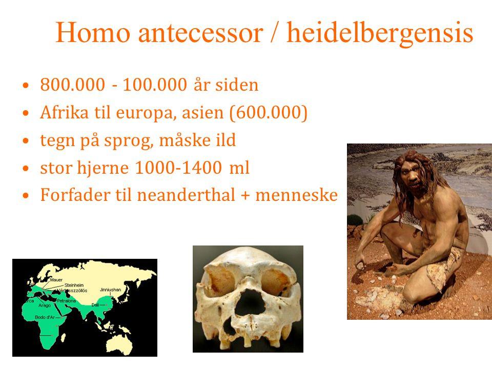 Homo antecessor / heidelbergensis