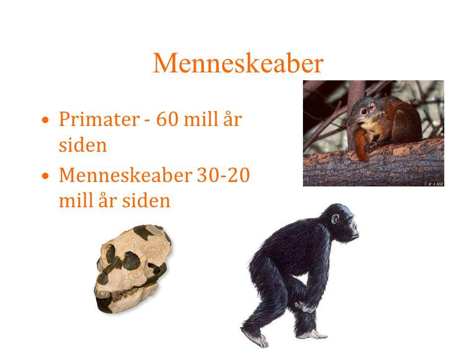 Menneskeaber Primater - 60 mill år siden