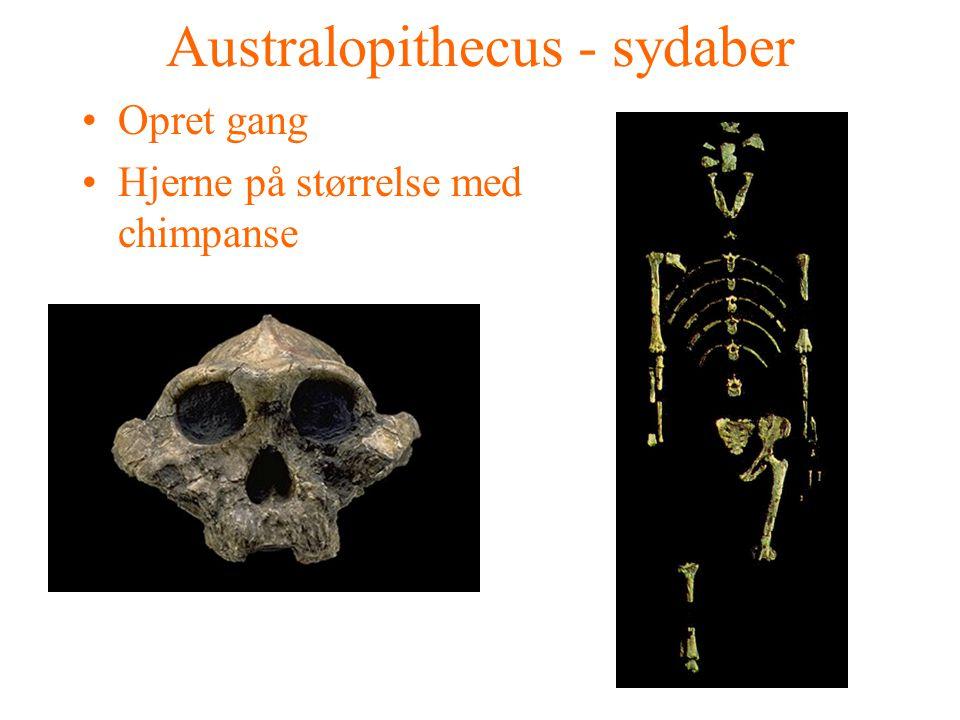 Australopithecus - sydaber