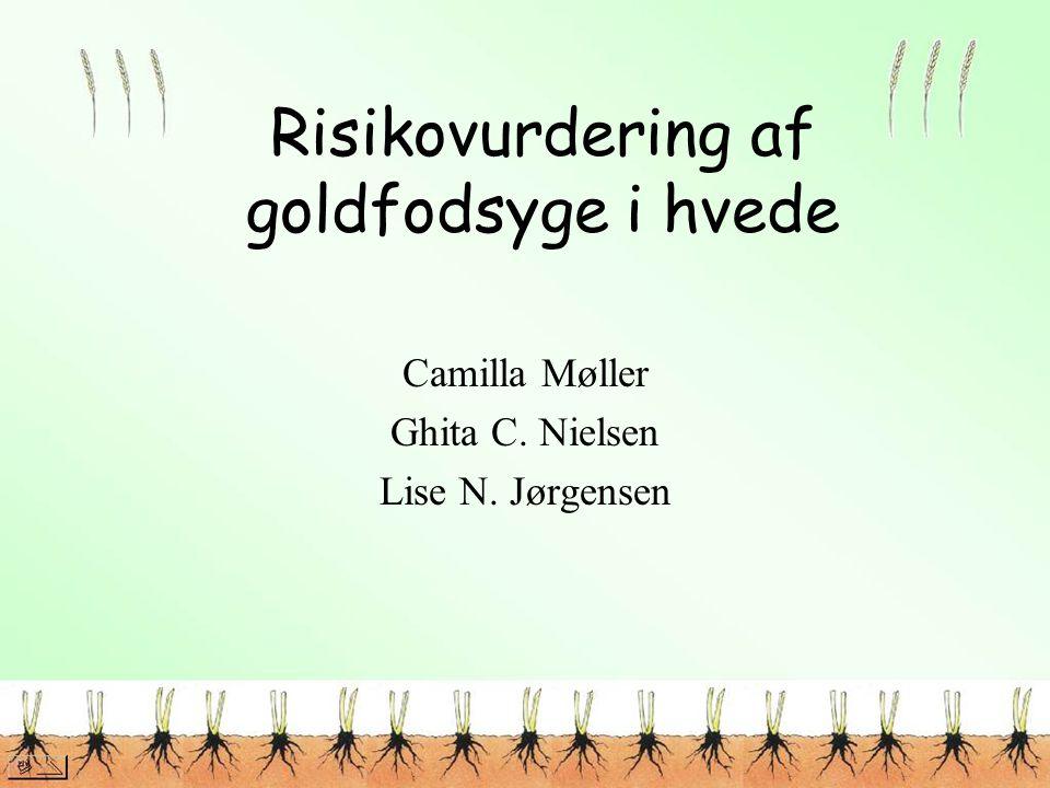 Risikovurdering af goldfodsyge i hvede