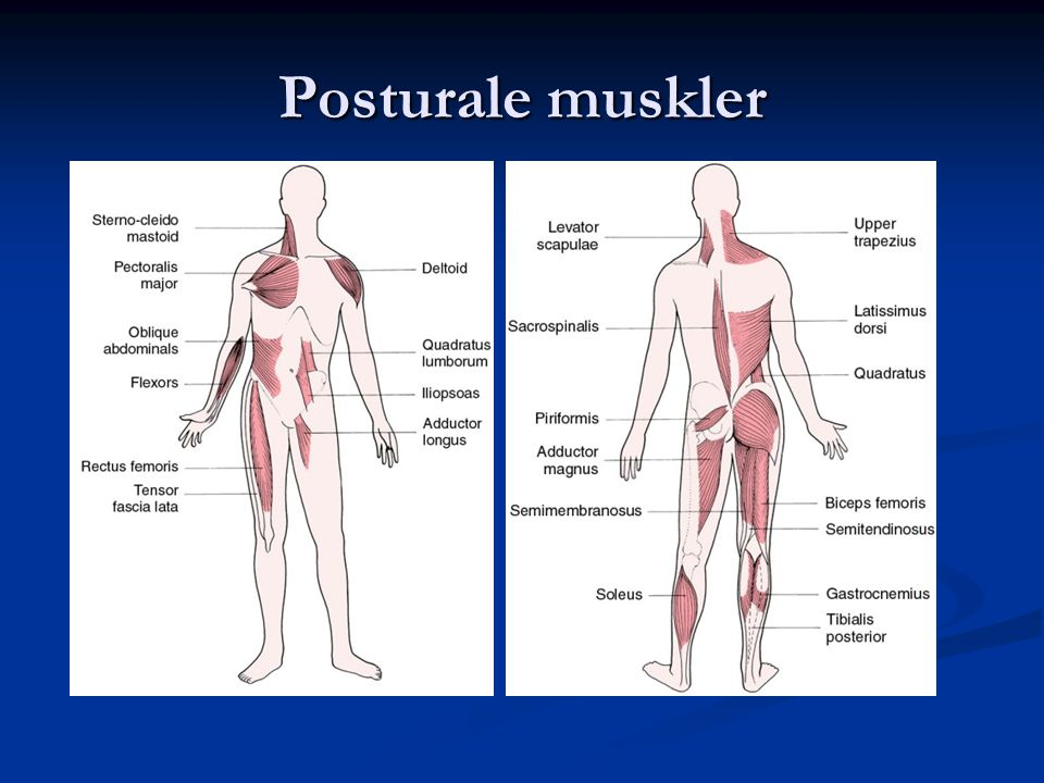Posturale muskler