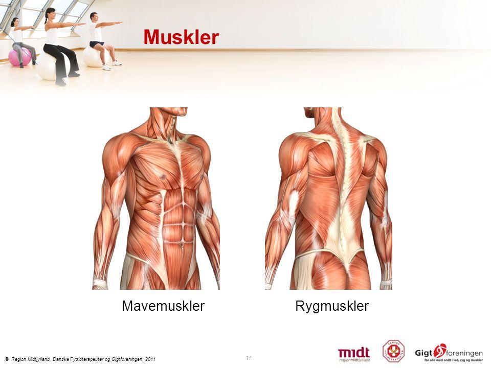 Muskler Mavemuskler Rygmuskler