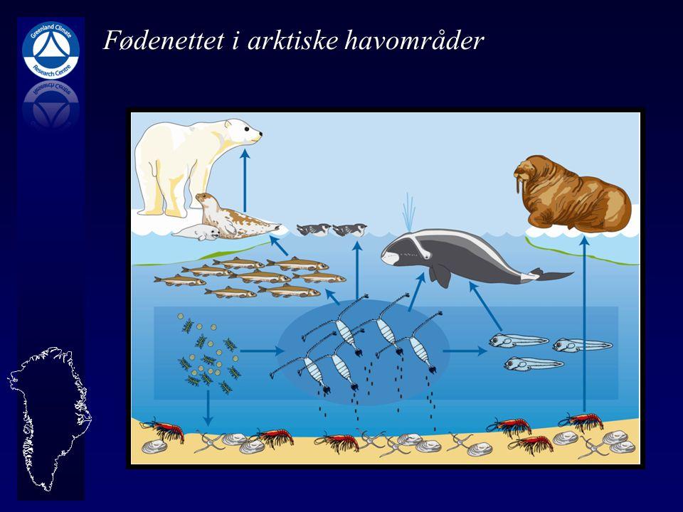 Fødenettet i arktiske havområder