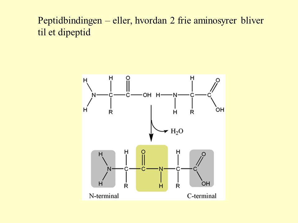 Peptidbindingen – eller, hvordan 2 frie aminosyrer bliver til et dipeptid