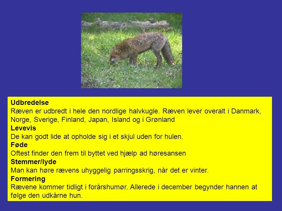 Udbredelse Ræven er udbredt i hele den nordlige halvkugle. Ræven lever overalt i Danmark, Norge, Sverige, Finland, Japan, Island og i Grønland.