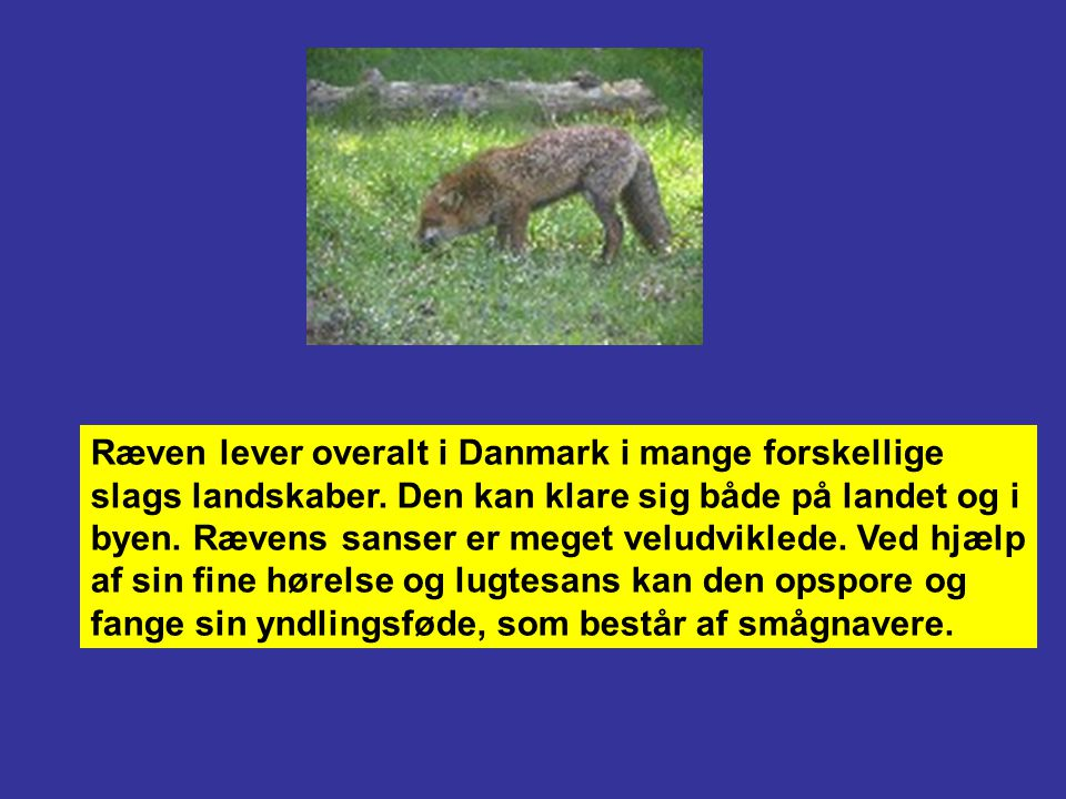 Ræven lever overalt i Danmark i mange forskellige slags landskaber