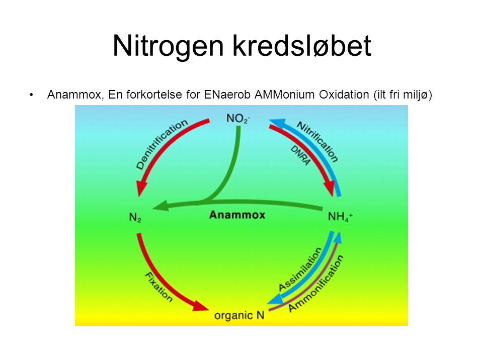 Nitrogen kredsløbet Anammox, En forkortelse for ENaerob AMMonium Oxidation (ilt fri miljø)