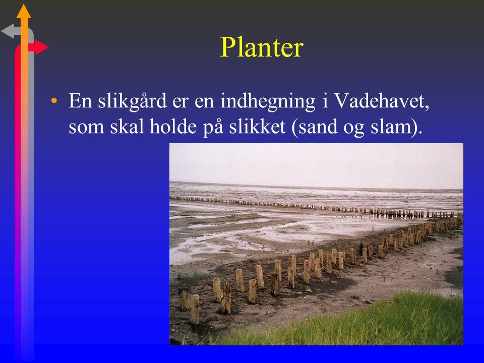 Planter En slikgård er en indhegning i Vadehavet, som skal holde på slikket (sand og slam).