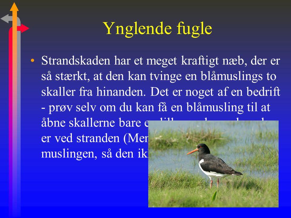 Ynglende fugle